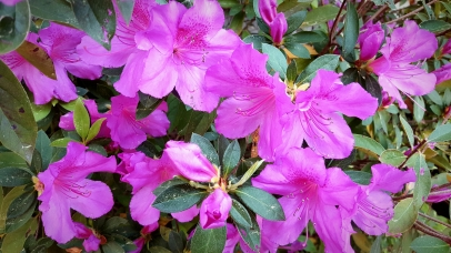 Azalea Time by Lori Bee